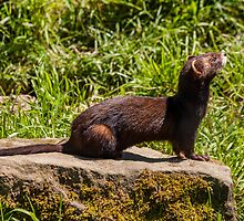 American Mink by Dawn OConnor