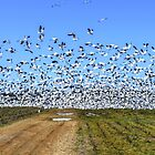 A Flock of Snow Geese by WestBigSky