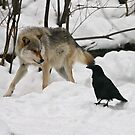 Wolf eats crow? by Rob Emery