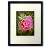 Dew Drops on Pink Framed Print