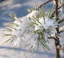 Snow in spruce tree by Arve Bettum