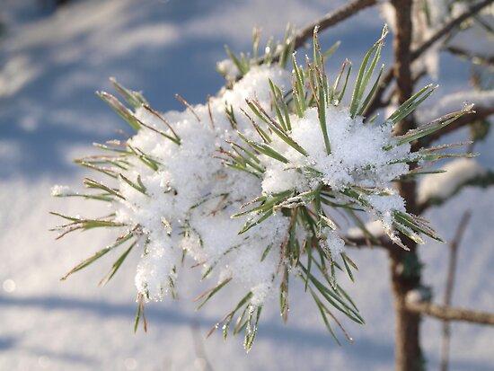 Snow in spruce tree by Arve Bettum