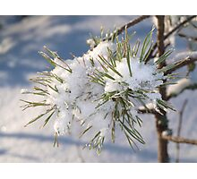 Snow in spruce tree Photographic Print