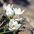 White Crocus  by Kanelov