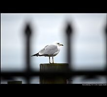 Larus Delawarensis - Wrought Iron Gate View Of An Ring-Billed Gull - Port Jefferson, New York  by © Sophie W. Smith