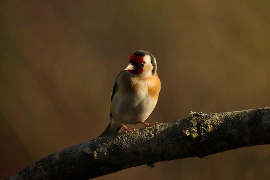Goldfinch by Jon Lees