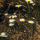 Rustic Daisies by Sharon Woerner