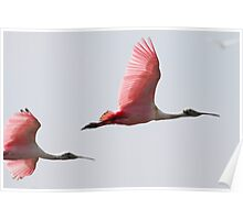 Spoonbills in Flight Poster
