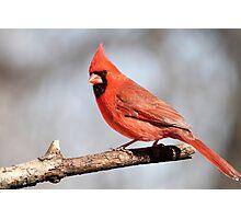 Cardinal posing.... Photographic Print