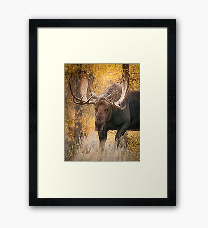 Bull Moose in the Aspens Framed Print