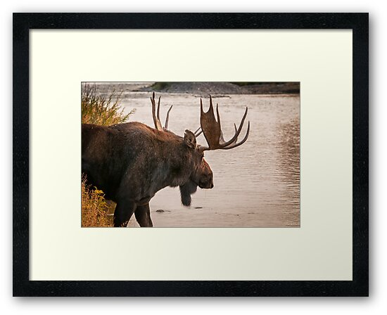 Bull Moose at the Snake River by J. Day