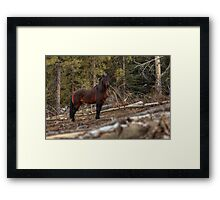 Boss Stallion - Ghost Forest Alberta Framed Print