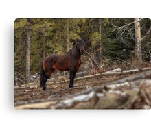 Boss Stallion - Ghost Forest Alberta Canvas Print