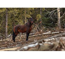 Boss Stallion - Ghost Forest Alberta Photographic Print