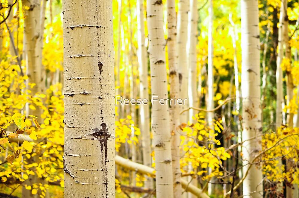 Kenosha Pass Aspen Tree Trunks by Reese Ferrier