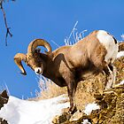 Big Horn Sheep by Rose Vanderstap