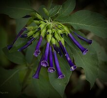 Blue Trumpet Flowers (Lochroma warscewiczii) by Elaine Teague