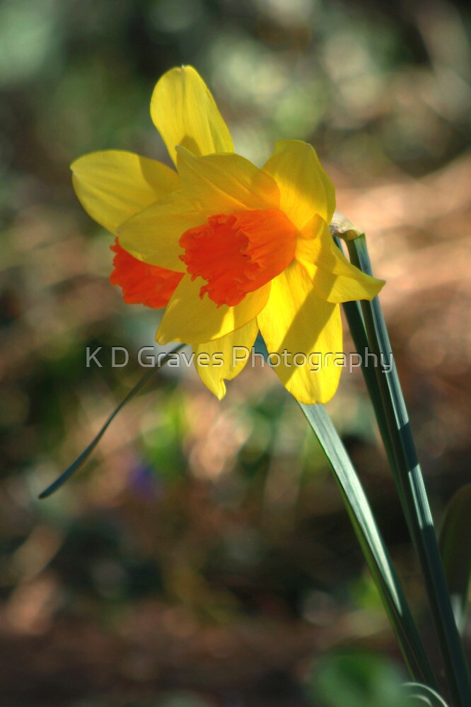 Spring Daffodils  by K D Graves Photography