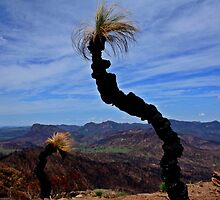 Grass trees shooting new growth at the Warrumbungles by myraj