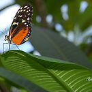 Butterfly On Leaf by JimPavelle
