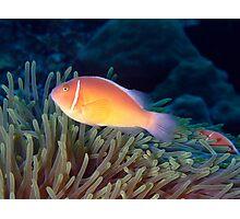 Pink Anenome Fish Christmas Island Photographic Print