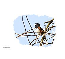 Towhee Singing on top of Mountain Photographic Print