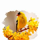 AMERICAN MALE GOLDFINCH by Randy & Kay Branham