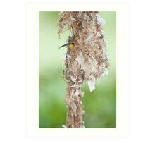 Tucked Up - sunbird nesting in far north Queensland Art Print