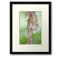 Tucked Up - sunbird nesting in far north Queensland Framed Print