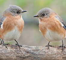 Bluebird Gossip by Bonnie T.  Barry