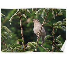 Garden Sparrow  Poster