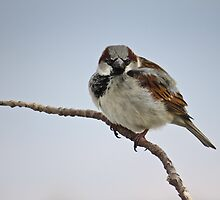 Right Back At You - House Sparrow by Deb Fedeler