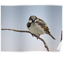 Right Back At You - House Sparrow Poster