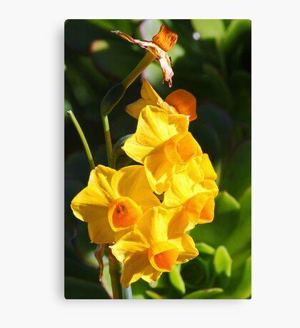 Narcissus jonquilla (Daffodil) Canvas Print