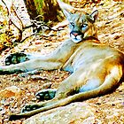 BB Mountain Lion Resting by jkgiarratano