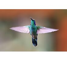 Green Violetear Hummingbird - Costa Rica Photographic Print