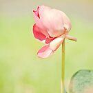 Windswept - lotus flower by Jenny Dean