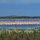 Flamingos near Kimberley - South Africa by Bev Pascoe