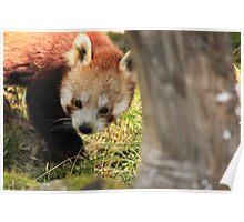 A Shy Little Bear Poster