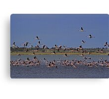 Pink Flamingos - South Africa Canvas Print