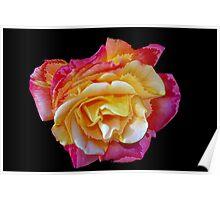 Spitfire rose Poster