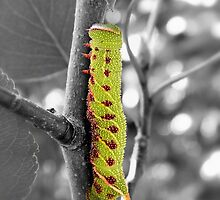 Blinded Sphinx Caterpillar by Sharon Woerner