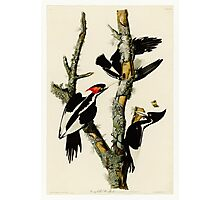 Audubon's Ivory Billed Woodpeckers Photographic Print