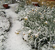 DAFFODILS IN THE SNOW by Shoshonan