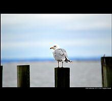 Larus Delawarensis - Ring-Billed Gull At Port Jefferson Harbor - Long Island, New York  by © Sophie W. Smith