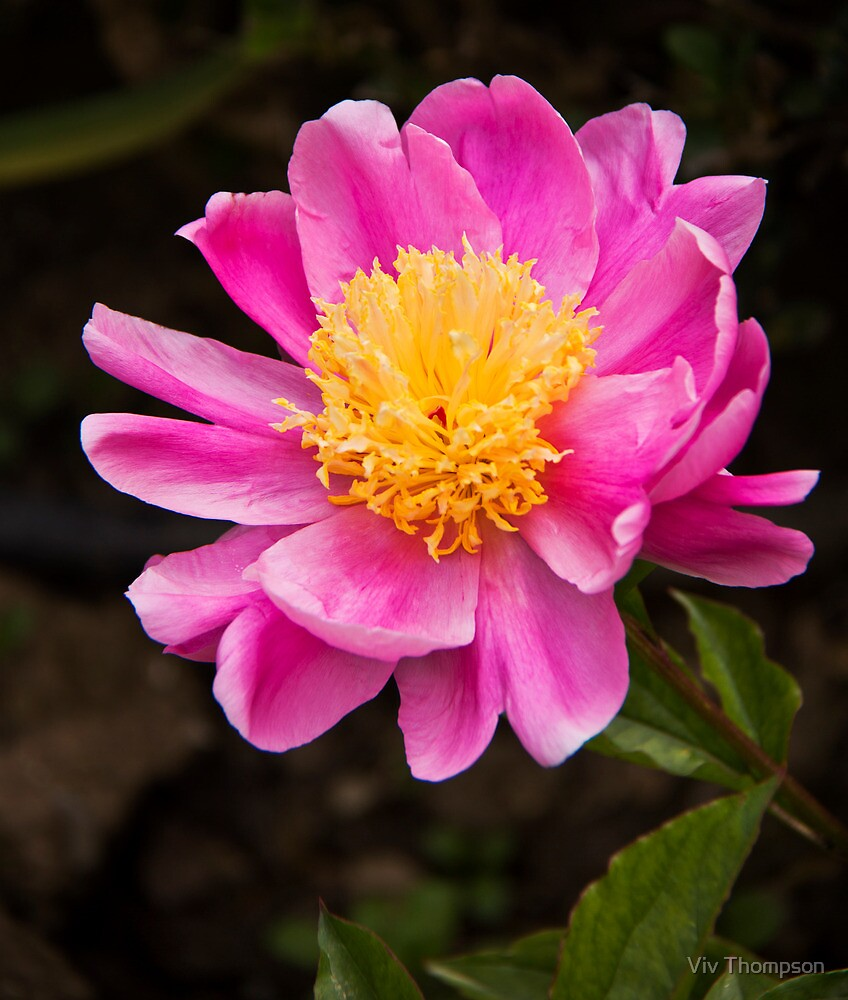 Peony in Pink by vivsworld