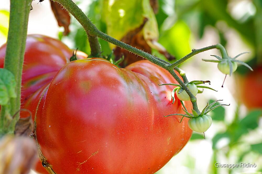 In my garden: big tomato by Giuseppe Ridinò