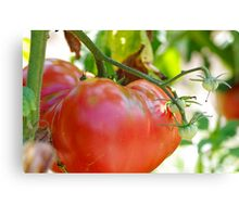 In my garden: big tomato Canvas Print