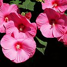 'Pink Clouds' Hardy Hibiscus by kkmarais