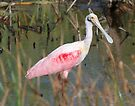 Roseate Spoonbill by Dennis Cheeseman